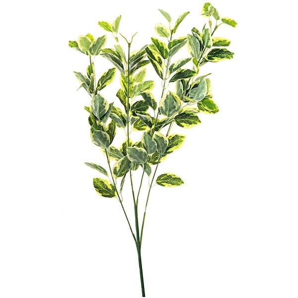 Euonymus grün-gelb 55cm
